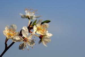 cherry-plum-blossom-1441995-m